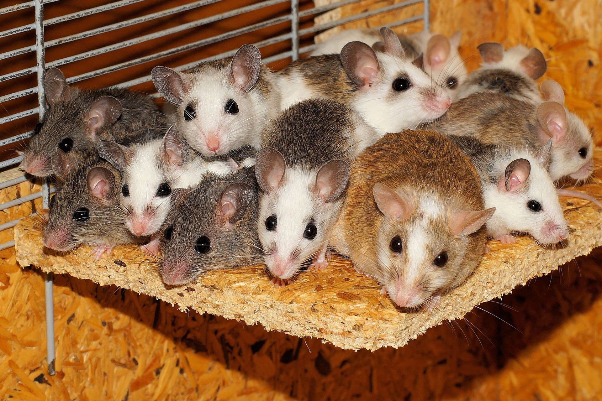 Bunch of Mice
