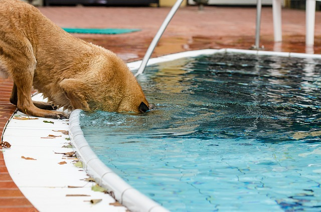 Dog with head in pool